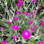 【フランネル草】の育て方!ビロードのような可愛い花