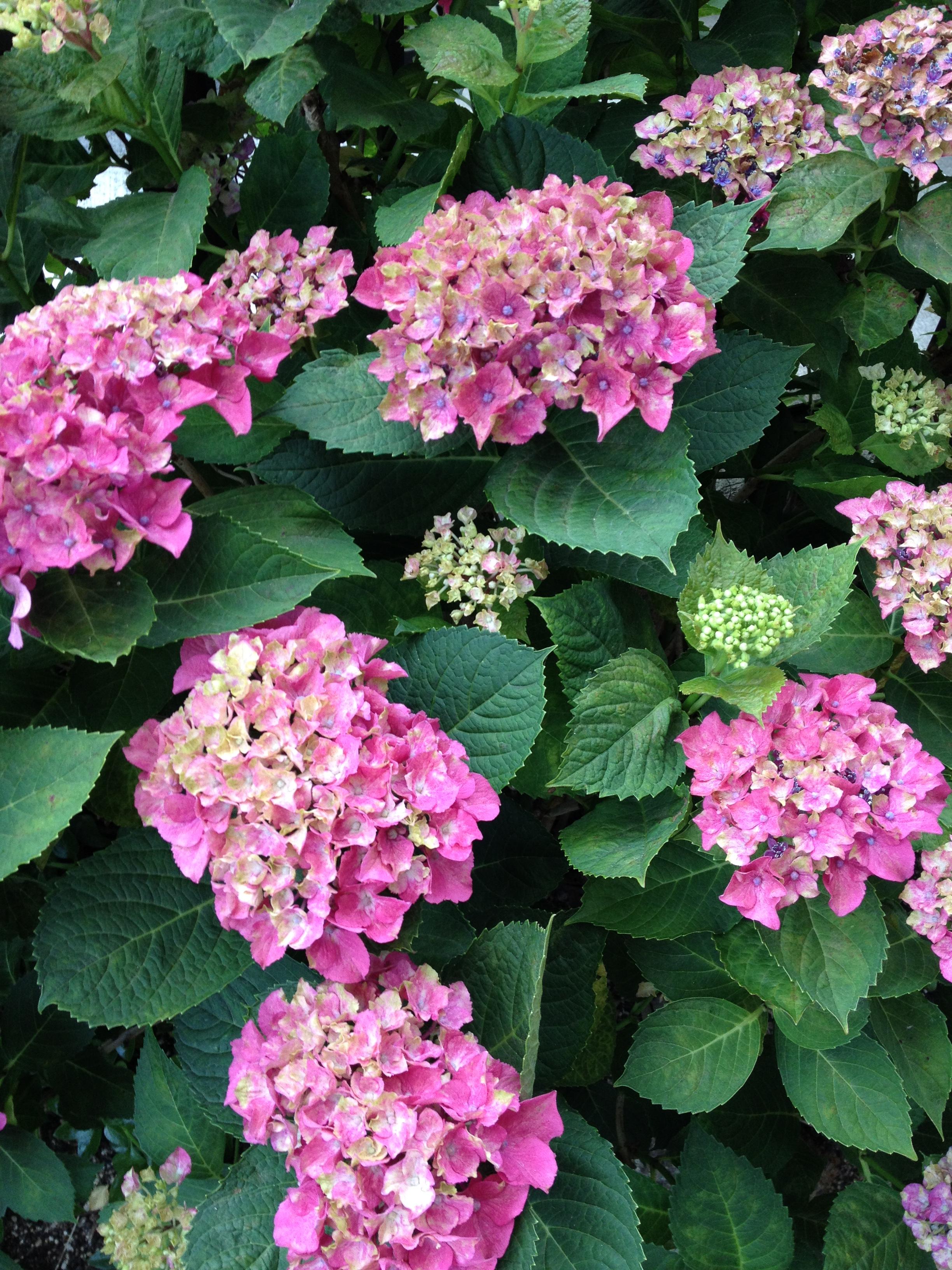 紫陽花 の 剪定