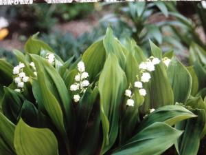 スズラン育てやすい花