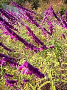 【アメジストセージ】は夏から秋にかけて咲く人気の花です!