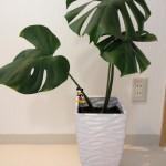《観葉植物》【モンステラ】がオシャレで育てやすい 動画