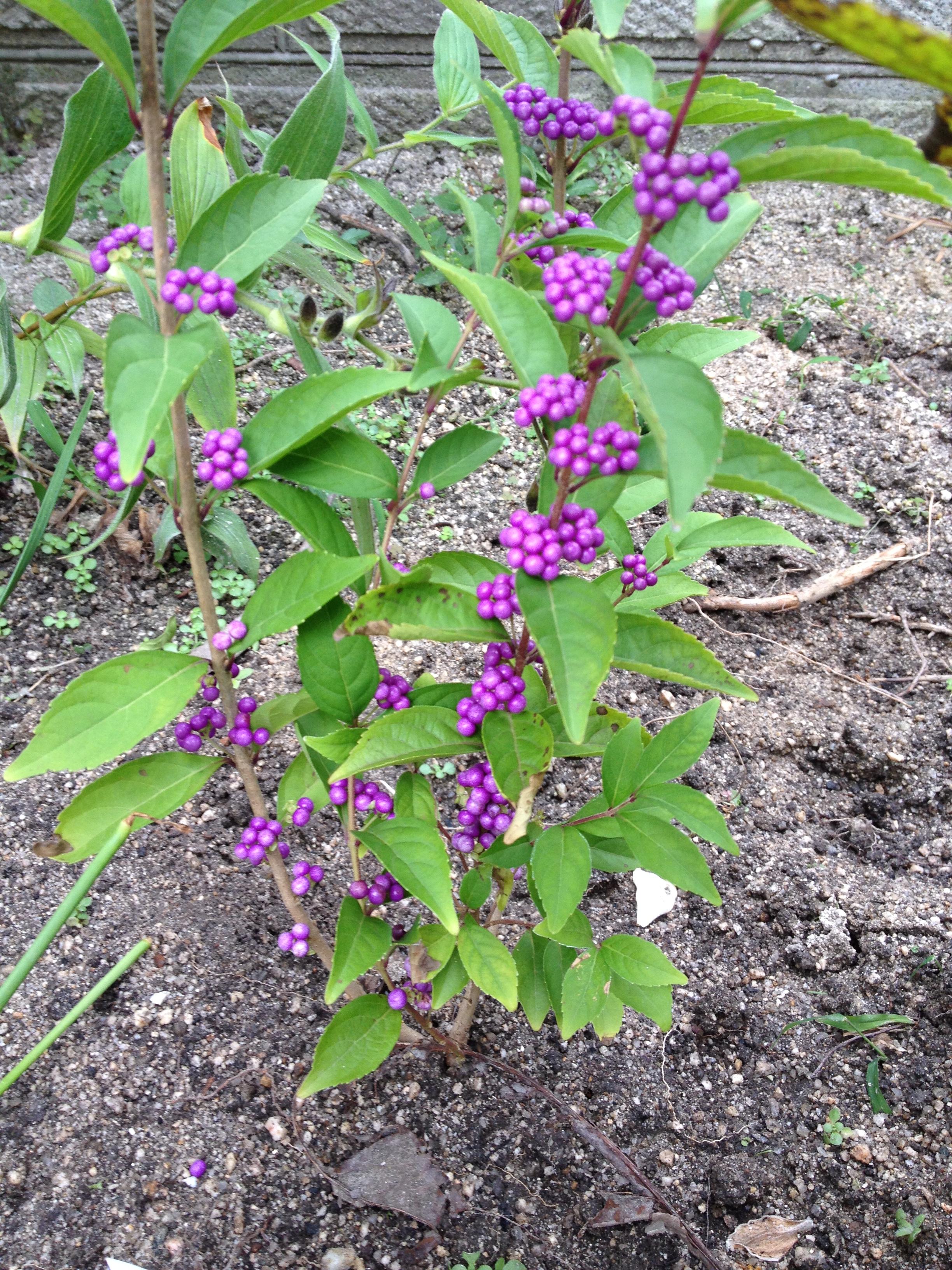 紫式部 低木