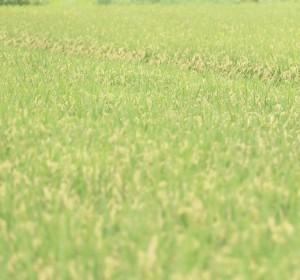 田んぼアートギネス世界記録に認定される広さは