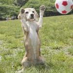 【天才犬】『プリンちゃん』ギネス世界記録に認定!動画