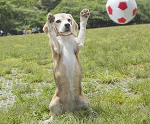 【ビーグル犬】プリンちゃん・ギネス世界記録に登録!