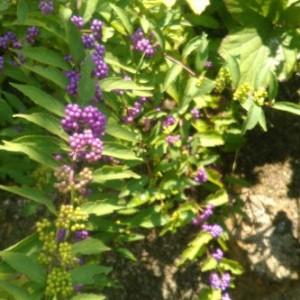 秋の花【紫式部】(むらさきしきぶ)育て方!やさしい園芸