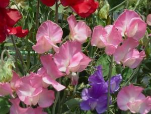 【秋植え】『スイ一トピー』は春先に咲く花!育て方