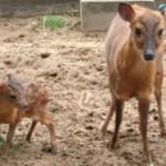 【キョン】が伊豆大島で大繁殖して被害がでている! 動画