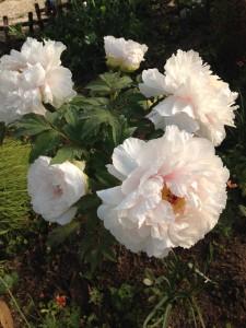 【牡丹(ボタン)】育て方!花後の剪定方法と肥料?