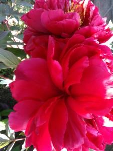 牡丹(ボタン)】育て方!花後の剪定方法と肥料?