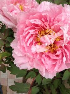 【牡丹(ボタン)】育て方!花後の剪定の方法と肥料?