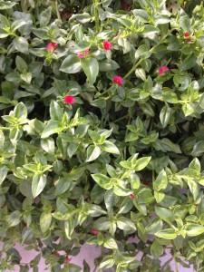 【ベビーサンローズ】苗の育て方!やさしい園芸