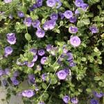 春の花【コンボルブルス】の育て方!美しい丈夫な花
