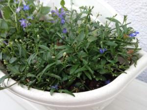 【アズーロコンパクト】の育て方!小さな花がフワッとこんもり咲く?
