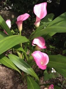 【カラー】花の育て方!動画