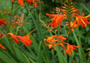 【モントブレチア】育て方!夏から秋にかけて咲く花