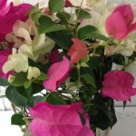 趣味の園芸【ブーゲンビリア】の花!動画