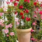 【サンパラソル】夏から秋の花の育て方!動画
