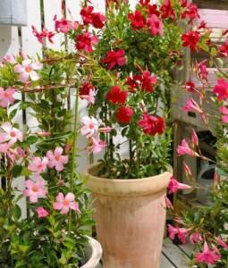 【サンパラソル】夏の花の育て方!