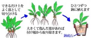 【ガーベラ】の育て方!ヤサシイ園芸になっています