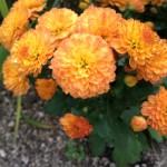 【ガーデンマム:ジジ】秋に咲く花!