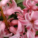 【ヒヤシンス】の育て方と花を咲かせるコツは?
