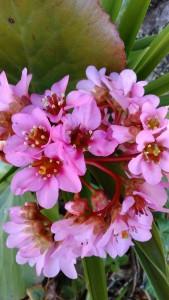 【ヒマラヤユキノシタ】の花!育て方