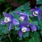 春の花【オダマキ】育て方!植え方・増やし方は?