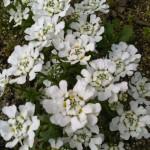 【イベリス】宿根草の育て方!やさしい園芸