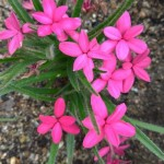 【アッツザクラ】育て方!可愛い小さな花
