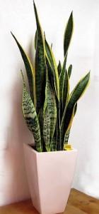 【パキラ】空気清浄効果がある観葉植物!