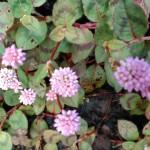 【ポリゴナム】グランドカバーに最適な可愛い花!