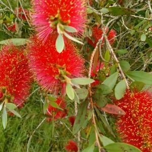【ブラシの木】枝いっぱいの赤い花!