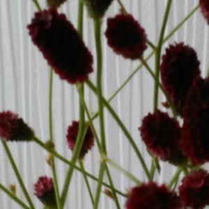 【吾亦紅(われもこう)】!秋の花
