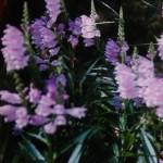 【ハナトラノオ】夏から秋の花!丈夫な宿根草です。