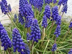 【秋植え球根】10選!春に花が咲きます。