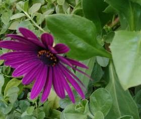 オステオスペムマム【アフリカンデージー】キク科の植物!