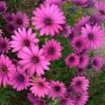オステオスペルマム【アフリカンデージー】キク科の植物!