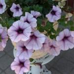 【ペチュニア】育て方!可愛い花