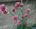 【クラスペディア】は素朴で可愛い花です!